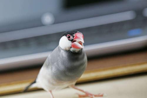 文鳥の鳴き声について