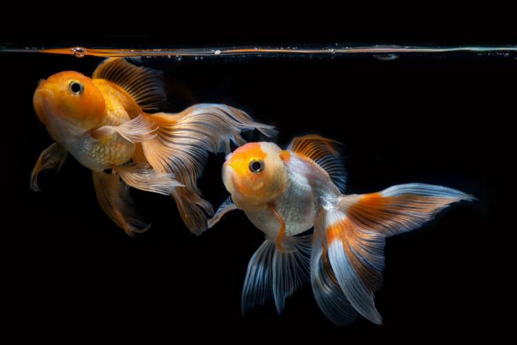 金魚が卵を産んだ。そんな時、どう対処すればいい?