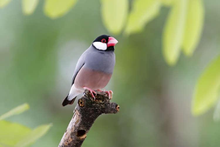文鳥の特徴や性格、飼い方について