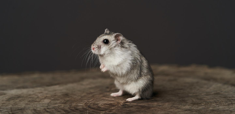 院長の平林が監修した記事が公開されました:ハムスターの飼い方とは? 特徴・種類・寿命や飼育の基本について解説